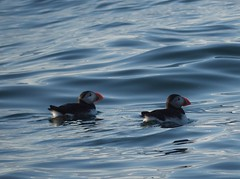 (cbandes) Tags: nature birds maine puffins lumixgvario45200f4056