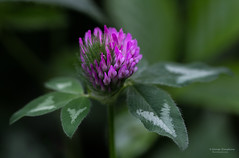 Clover-Blossom (Man In The Woods) Tags: macro arkansas wildflower ozarks redclover