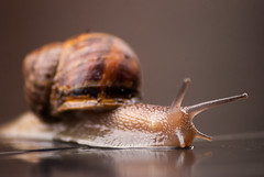 Common Garden Snail (Linxie) Tags: africa garden town south snail cape common nkon d80