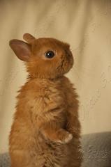 Conejo super toy gold