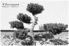 Bonsai (peter pirker) Tags: blackandwhite bw tree canon klein peter bonsai baum schwarzweis peterfoto eos550d peterpirker