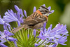Rufous-collared Sparrow on Agapanthus -EXPLORED- (PriscillaBurcher) Tags: sparrow pinche naturesfinest coth rufouscollaredsparrow zonotrichiacapensis supershot specanimal avianexcellence copetón afrechero avesdecolombia birdsofcolombia dsc5823 coth5 birdperfect copetoncito sunrays5
