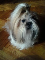 Meet Omi (RawBits) Tags: shihtzu omi flickrandroidapp:filter=none