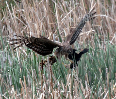 Northern Harrier (F) (hplecky) Tags: raptors hawks northernharrier circuscyaneus