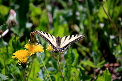 Canadian Tiger Swallowtail, Papilio canadensis (Chalicerae) Tags: macro canon butterfly bug insect wings moth insects hobby manitoba lepidoptera naturist thompson canonlens amateurlepidopterist