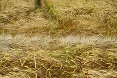 Barley Hairs (KF-Photo) Tags: pentax feld spuren frucht acker gerste strukturen k30 gerstenfeld furche feldspuren hrchen feldlinien reicheneck samyang1485 gerstenhaare gerstenspuren