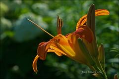 Backlit Lily (Jeannot7) Tags: daylily cobourg fleursetpaysages ecologygarden