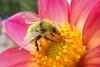 Fuzzy Wuzzy (smoketronics) Tags: park flower nature point washington bee bumble defiance fbdg