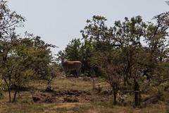 Mara Impala (bknabel) Tags: africa animals kenya safari impala masaimara maasaimara narok maratriangle kilimacamp bradknabel bknabel bradknabel