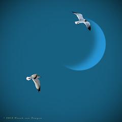 Opposites attract (Fr@nk ) Tags: blue sky moon seagulls topf25 canon topf50 topf75 europe topf100 nextime watmooi mrtungsten62 frankvandongen wwworvilcom