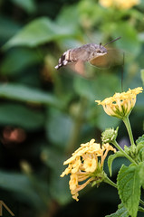 busy (martins.nunomiguel) Tags: green flight working moth fast busy worker pollen