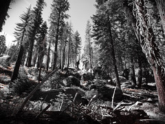sierra slope (kerwilliger) Tags: california mountain rock pine nationalpark yosemite fir sierranevada conifers