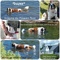 Dozer (MissyPenny) Tags: dog water river puppy pennsylvania delaware stbernard buckscounty delawareriver pdlaich missypenny