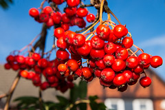 Urban autumn 4 (Ruth Flickr) Tags: uk blue autumn red england sky urban orange tree season town suburban small seasonal oct rowan 13 neighbourhood midlands redbrick droitwich berries004