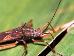 Assassin Bug - family Reduviidae (Hickatee) Tags: forest bug rainforest belize wildlife culture bugs toledo jungle puntagorda assassinbug reduviidae hickatee toledodistrict hickateecottages hickateebelize hickateepuntagorda