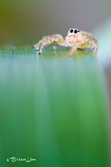 Jumping spider on the stage. (brianfc) Tags: macro nature closeup canon insect spider wildlife canon550d