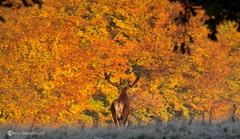 IMG_8832 (chris fearnehough) Tags: sunset sunrise stag hart reddeer rut hinds tattonpark reddeerrut vision:sky=064 vision:flower=0538