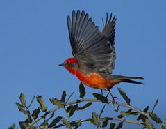 Vermillion Flycatcher (Explore) (Eric Gofreed) Tags: arizona ngc npc maderacanyon flycatcher santacruzcounty vermillionflycatcher parkcenter