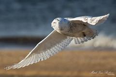 Snowy Owl In Flight (Mitch Vanbeekum Photography) Tags: bird birds newjersey wildlife nj sandyhook birdsofprey snowyowl birdinflight buboscandiacus canon5dmkiii canonef500mmf4is canon14teleconvertermkiii