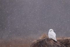 Snowy Owl in Snow (www.studebakerstudio.com) Tags: snow canada bird owl studebaker hay snowyowl