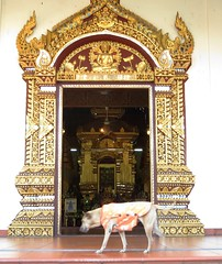 Chiang Mai-temple dog at Wat Chiang Man (ashabot) Tags: travel dogs thailand asia temples chiangmai wat