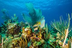 snappersSept30-13 (divindk) Tags: ocean sea fish color coral marine underwater diving caribbean reef caymanislands snapper snappers clearwater underwaterphotography blueocean grandcaymanisland seafan bestfreinds schoolmastersnapper lutjanusapodus diverdoug cobaltcoastresort vision:mountain=0528 vision:dark=0576 vision:plant=0553 vision:sky=0516 vision:outdoor=0972