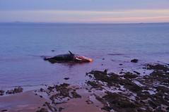 SW 9 (NikWatt) Tags: loss sunrise death scotland edinburgh sigma handheld mammals whalers spermwhale greatcolors christiansalvesen greatscots edinburghphotographers nikwatt windowsphotogallerylive losttheirway sonya580
