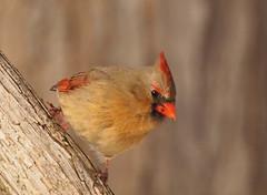 Cardinal (MLK6615) Tags: bird cardinal niagara