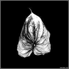 Leaf. Bronica-S2,_EFKE R14, exp:1993. (Andrey Maltsev) Tags: old flowers bw 120 6x6 film canon scan 120film 1993 bronica scanned anthurium expiredfilm efke bwfilm middleformat 8800 blackandwhitefilm bronicas2 iso20 pione r14 redanthurium canon8800f efker14