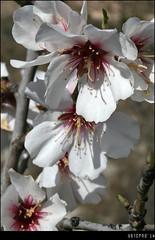 Almond blossom (Ubierno) Tags: pink espaa white flower tree primavera blanco spring spain europa europe blossom flor almond rosa alicante printemps mandula mandel almendro mandorla  comunidadvalenciana  badem amande  amndoa  manteli amandel   elvents vents ubierno   migdaowy migdal mndlu