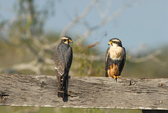 Aplomado Falcon Pair (rdodson76) Tags: wild two bird nature animal day hawk wildlife pair twin double raptor falcon environment species prey predator habitat mates rare avian falco aplomado femoralis