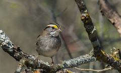 white-throated sparrow (explored 2/19/2014) (robert salinas) Tags: a57