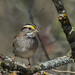 white-throated sparrow (explored 2/19/2014)