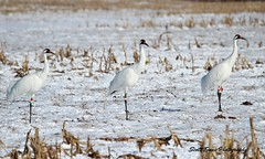 """Whooping Cranes (Scott """"Burns"""" Evans) Tags: winter bird nature scott photography march evans indiana cranes southern migration 2014"""