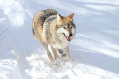 IMG_1538.jpg (Mark Dumont) Tags: snow animals mammal zoo wolf mark cincinnati mexican dumont