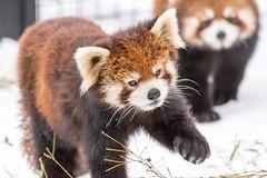 Red Panda (kumakichi) Tags: winter animal zoo hokkaido iso400 300mm   f56     asahikawa   11250sec