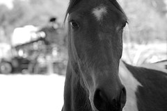 Apple Please (NC Mountain Man) Tags: blackandwhite bw horse nikon dof d70s ncmountainman phixe