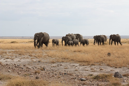 Group of elephants moving