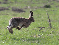 Hare (Explored) (Hilary Chambers) Tags: