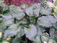 IMG_20140529_133546 (moccasinlanding) Tags: fragrant irishluck