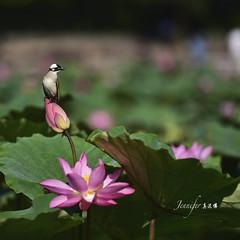(Jennifer ) Tags: morning flowers flower flora lotus taiwan taipei       lightventedbulbul        nikond4s nikkorafsvrii70200mmf28ged