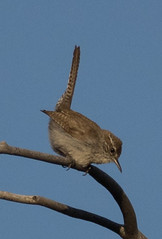 Bewick's Wren (ccbird1) Tags: wren nm wr thryomanesbewickii bewr