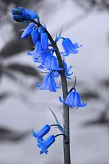 Blue Bells (pallab seth) Tags: park wild england flower macro london art nature garden spring interesting artistic bluebell signofspring springgarden bestphotos hyacinthoidesnonscripta samsungnxseries samsungnx2000 samsung50200mmf4056oisifunctioniiilens