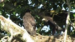 I Believe I Can Fly! (shesnuckinfuts) Tags: nature video wings nest eagle baldeagle haliaeetusleucocephalus fledgling jumpingjacks 10weeksold kentwa eaglets shesnuckinfuts russellrd