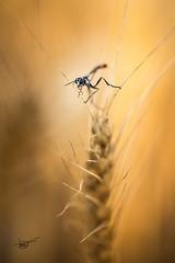 equilibrista (tofercu) Tags: macro canon camps insectes groc estiu taronja 2015 blat tonifernandez tofercu