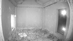 3.1.2017_2248_Didi Took A Break (barn owl nest box) (Birder23) Tags: barnowlnestbox barnowleggs didi didiandjasper chulavistaca enlargementofeggs