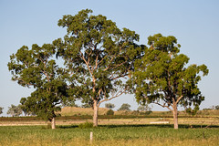 Trees (PJ Reading) Tags: tree trees farm farmland nature natural afternoon sunset darlingdowns seq toowoomba brisbane queensland qld australia aus aussie landscapes landscape australian land