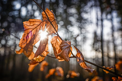 Early Sign of Spring (memories-in-motion) Tags: sun sunlight spring jeaf macro structure color red forest buche laub nature natur outdoor morning light beech leica q leicaq 28mm focus manual vulkaneifel eifelsteig tree branch bokeh