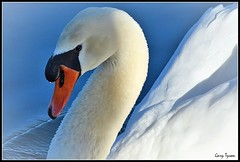 Mute Swan (GaryT48) Tags: muteswan cygnus olor schuykill county waterfowl