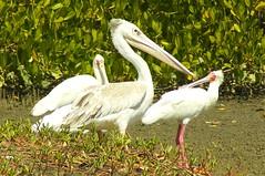 Pelican with Spoonbills. (Paul Webb.) Tags: pelican spoonbill thegambia thebestofmimamorsgroups